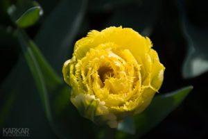 Gele papegaai tulp