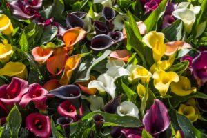 Calla verschillende kleuren