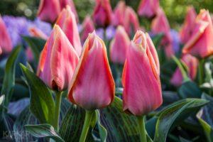Donker Roze Tulpen