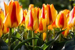 Rood Oranje Tulpen