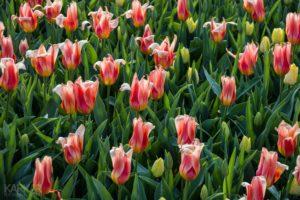 Lelie-tulp roze
