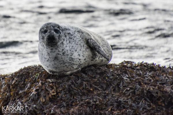 Zeehond op zeewier