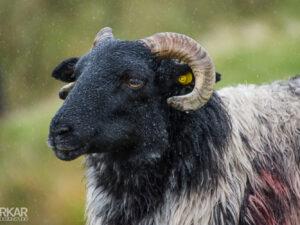 Zwartkop schaap in regen