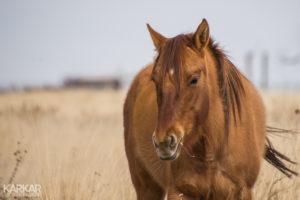 Amerikaans paard