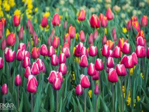 Roze witte tulpen