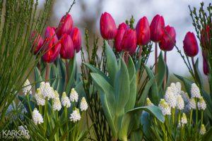 Witte druifjes en roze tulpen