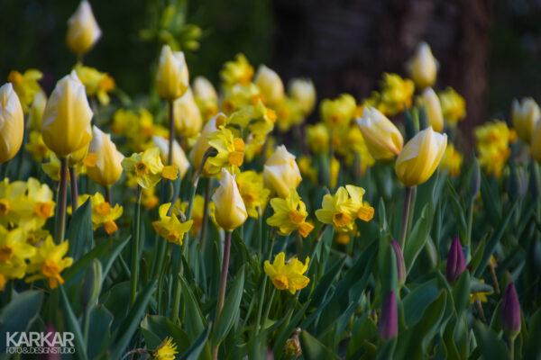 Narcisjes met gele tulpen