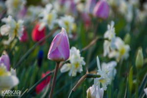 Roze tulp met witte narcis