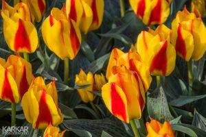 Oranje rode tulp