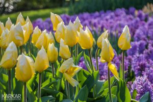 Gele tulpen met paarse hyacint