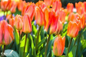 Oranje rode tulpen
