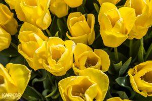 Gele openstaande tulpen