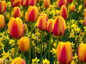 Oranje rode tulpen gemixt met gele narcissen