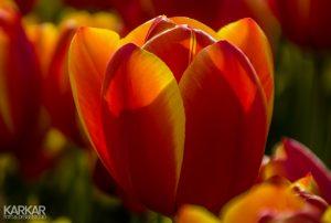 Romantisch rode tulp