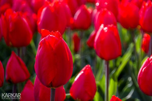 Knalrode tulpen