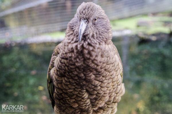 Kea - Nieuw Zeelandse vogel