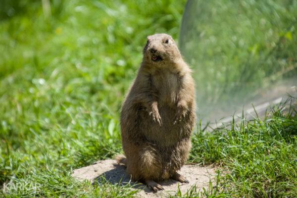 Hey! marmot