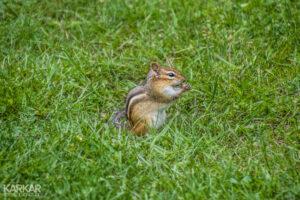 Wangzakeekhoorn - Chipmunk