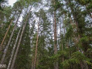 Hoge bomen in Zweden