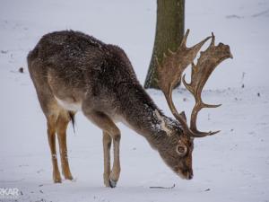 Hert in onder het sneeuw
