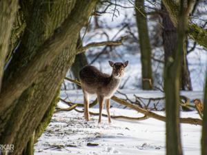 Hert tussen de bomen in het sneeuw