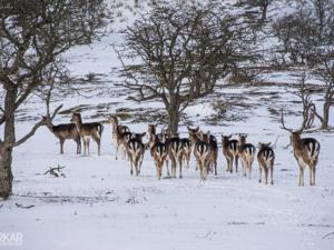 Groep herten die weglopen in sneeuw