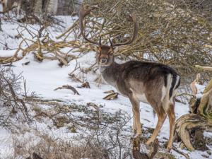 Hert bij bomen en takken in sneeuw