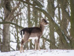 Jonge hert in het sneeuw